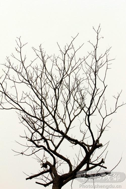 不落叶的树简笔画